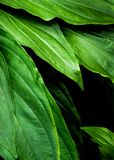 Freshness tropical leaves surface in dark tone as rife forest background. Top view of full frame freshness tropical leaves surface texture in dark tone as rife royalty free stock photos