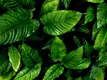 Freshness tropical leaves surface in dark tone as rife forest background. Top view of full frame freshness tropical leaves surface texture in dark tone as rife royalty free stock image