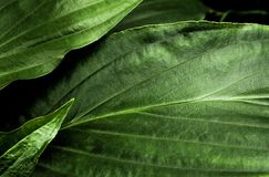 Freshness tropical leaves surface in dark tone as rife forest background. Top view of full frame freshness tropical leaves surface texture in dark tone as rife stock photography