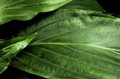 Freshness tropical leaves surface in dark tone as rife forest background. Top view of full frame freshness tropical leaves surface texture in dark tone as rife stock images