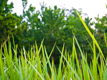 Freshness Vetiver Grass blade Stock Photos