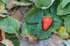 Freshstawberry. On the green leaf Stock Photo