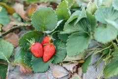 Freshstawberry. On the green leaf Stock Image