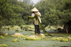 Freshwater algae Villagers or fishermen in the Mekong River Royalty Free Stock Images