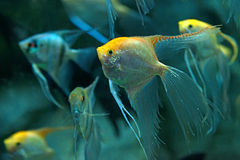 Freshwater angelfish Royalty Free Stock Images