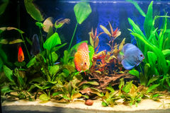 Freshwater aquarium. Typical home freshwater aquarium with green plants and tropical fish Royalty Free Stock Image