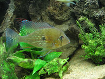 Freshwater Aquarium with Chichlids Stock Image