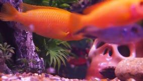 Freshwater aquarium fish. Full HD stock video