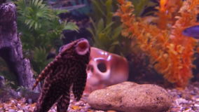 Freshwater aquarium fish. Full HD stock video footage