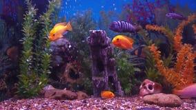 Freshwater aquarium fish. stock video footage
