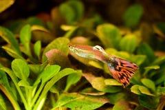 Freshwater aquarium fish, The guppy Poecilia reticulata, millionfish, rainbow fish. Freshwater aquarium fish, The guppy Poecilia reticulata, millionfish or stock image