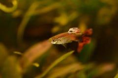 Freshwater aquarium fish, The guppy Poecilia reticulata, millionfish, rainbow fish. Freshwater aquarium fish, The guppy Poecilia reticulata, millionfish or stock photo