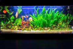 Freshwater aquarium tank. Fish swimming in a tropical freshwater aquarium tank Royalty Free Stock Photos