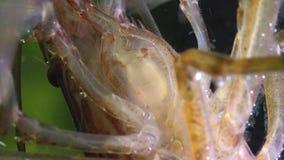 Macro shot of Freshwater Bamboo Shrimp eating process. Atyopsis moluccensis.