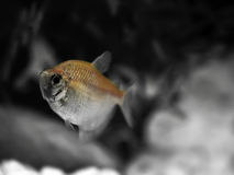 Freshwater Barb Stock Photography