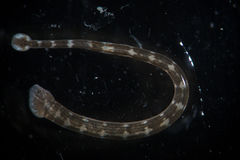 Freshwater bloodsucker Piscicola geometra. Leech by microscope. Freshwater leech Piscicola geometra by microscope. Parasite, disease of fish. Super Macro Stock Images