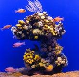 Freshwater blue aquarium. Stock Photos