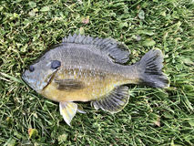Freshwater Bluegill on a green grass background Stock Image