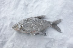 Freshwater bream (Abramis brama). Ice fishing. Stock Photography