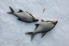 Freshwater bream (Abramis brama). Ice fishing. Royalty Free Stock Photo
