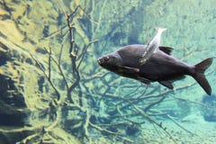 Freshwater bream Stock Photography