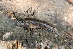 Freshwater bullhead fish or round goby fish just taken from the. Freshwater bullhead fish or round goby fish known as Neogobius melanostomus and Neogobius Royalty Free Stock Image