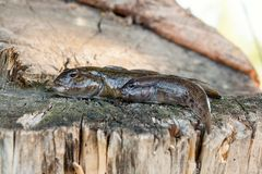 Two freshwater bullhead fish or round goby fish just taken from. Freshwater bullhead fish or round goby fish known as Neogobius melanostomus and Neogobius Royalty Free Stock Images