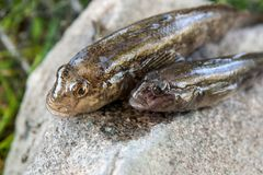 Freshwater bullhead fish or round goby fish just taken from the. Freshwater bullhead fish or round goby fish known as Neogobius melanostomus and Neogobius Royalty Free Stock Photos