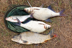 freshwater Carpe et brème, ide photos stock