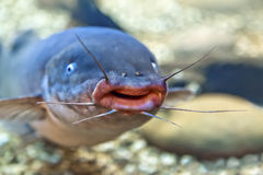 Freshwater catfish Royalty Free Stock Photos