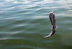 Freshwater catfish on the line Royalty Free Stock Images
