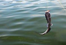 Freshwater catfish on the line. Freshwater catfish on a fishing line Royalty Free Stock Images