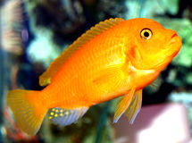 Freshwater Cichlid. Very alert cichlid. vivid colors with interesting egg spots on anal fin.  Probably male due to the number of egg spots to attract the females Royalty Free Stock Images