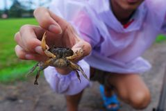 Freshwater crab is catch in human hand. Fresh food Stock Photos