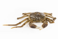 Freshwater crab closeup Royalty Free Stock Photography