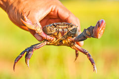 The freshwater crab hand,thailand Royalty Free Stock Image