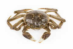 Freshwater crab Royalty Free Stock Photography