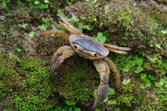 Freshwater crab on mossy rocks Royalty Free Stock Photo