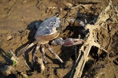Freshwater crab or rice field crab Somanniathelphusa that can. Be found in fresh water in rivers, canals or in rice fields stock images
