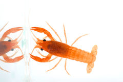 Freshwater crayfish Royalty Free Stock Photos