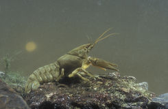 Freshwater crayfish, Austropotamobius pallipes Stock Photos