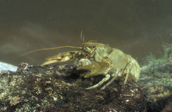 Freshwater crayfish, Austropotamobius pallipes Stock Photo