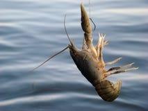 Freshwater crayfish. Crayfish is a rare catch fishing stock photo
