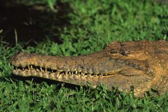 Freshwater Crocodile Royalty Free Stock Photography