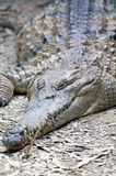 Freshwater Crocodile Stock Image