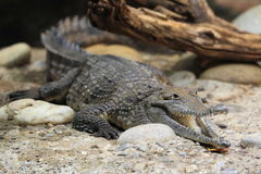Freshwater crocodile Stock Photography