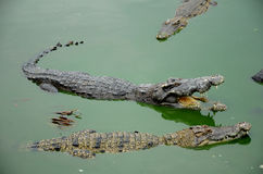 Freshwater crocodile. Royalty Free Stock Photo