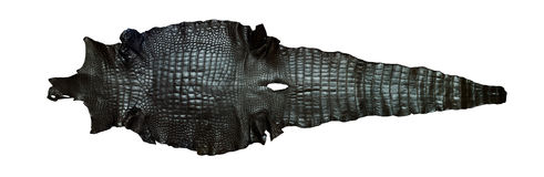 Freshwater Crocodile Belly Skin Texture Background. Royalty Free Stock Photo