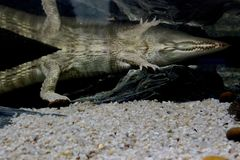 Freshwater crocodile Crocodylus johnsoni royalty free stock photos