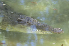 Freshwater crocodile, Crocodylus johnstoni Royalty Free Stock Photos